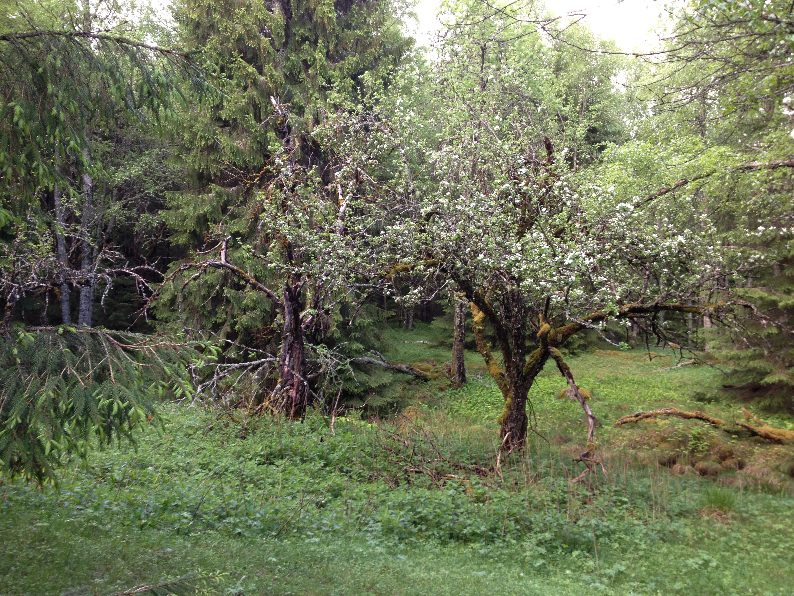 Äppelträd vid Långlidberg N 60° 02.195´ E 013°47.129´