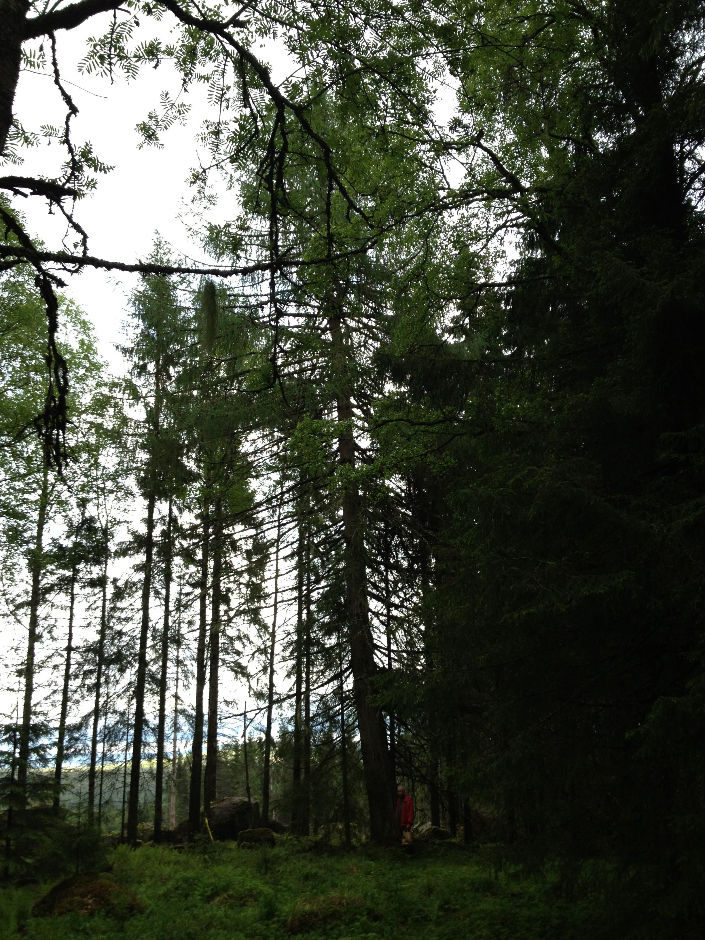 Göran står vid lärkträd planterad av Algot Olsson 6 år 1920