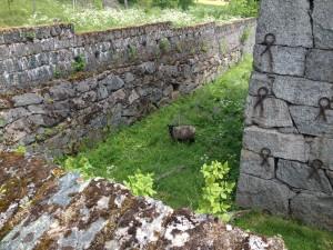 Får betar i ruinerna efter Näsrämshyttan